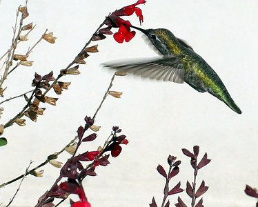 Hummingbird in front of The Griffith Observatory - Los Angeles, CA